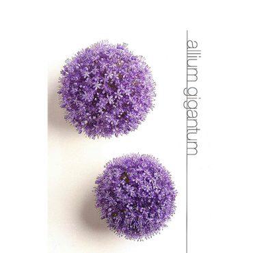 Allium Gigantum