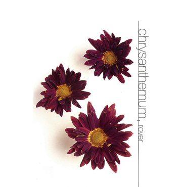 Chrysanthemums Rover