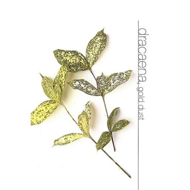Dracaena Gold Dust