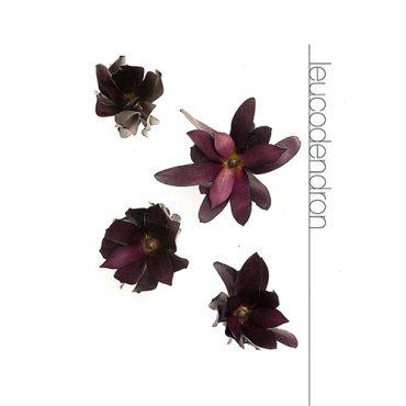 Leucodendron