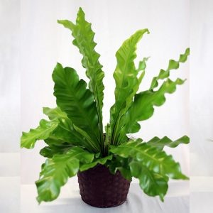 Birds Nest Fern 1