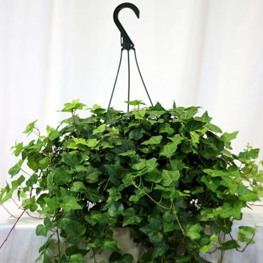 Hanging Ivy 1