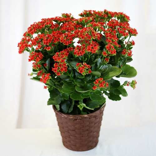 how to get kalanchoe to bloom