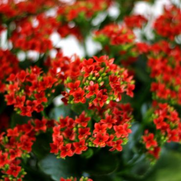 Kalanchoe Red 2