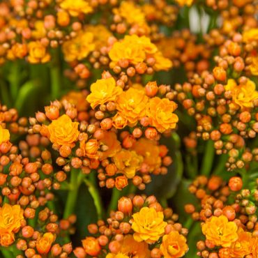 cu-orange-kalanchoe