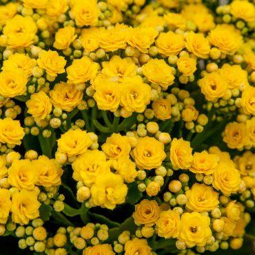 cu-yellow-kalanchoe