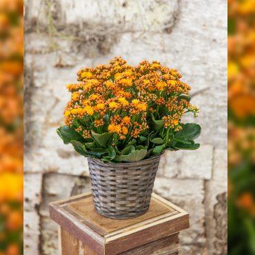 orange-kalanchoe