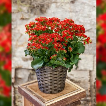 red-kalanchoe