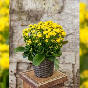 yellow-kalanchoe