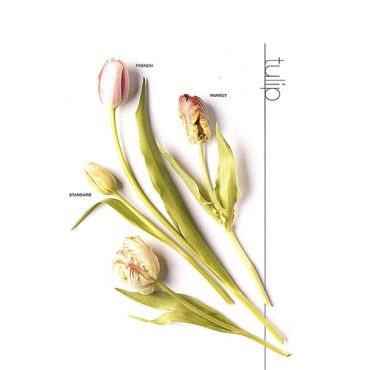 Tulip French and Parrot