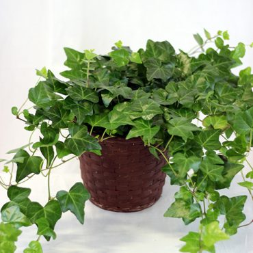 Potted Ivy 1