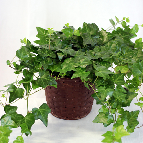 Potted Ivy