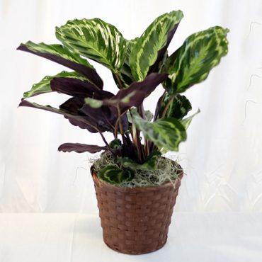 Prayer Plant 1