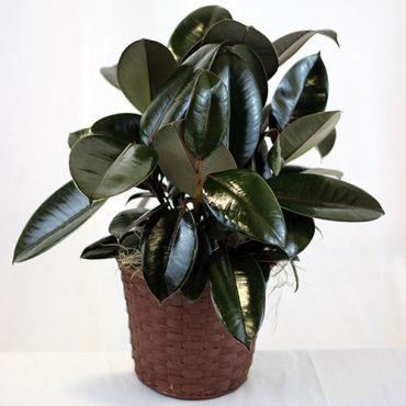 Rubber Plant 1