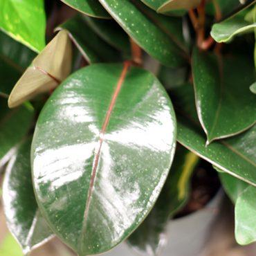 Rubber Plant 2