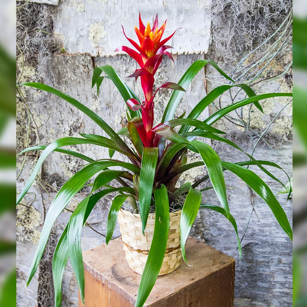 Bromeliad Red on natural boxes, natural fire ant killer, natural rock shine, natural sun shine, natural spider killer,
